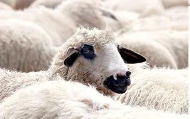 """千千生鲜【限时秒杀】足不出户,畅享小肥羊肉业出产""""贵族羊杂""""!59.9元抢3袋【阿牧特骨汤羊杂】。羊杂是一道地道的北方特色美食,肉香醇厚入口弹牙俘获众多吃货的心。不腻不膻,嚼劲十足,鲜美无比,口水在分泌,味蕾在叫嚣""""我要吃"""""""